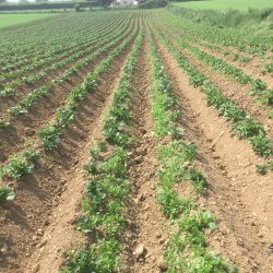 Field of potatoes, potato blight