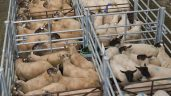 Sheep marts: Factory lamb prices down €3-8/head