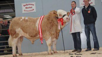 Simmental bulls reach £3,150 at Northern Ireland club sale