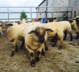 Sheep trade: Factory lamb quotes continue to edge upwards