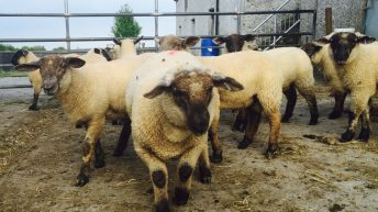 Spring lamb prices drop by €5-8/head in the sales ring