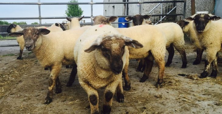Demand drives spring lamb prices to €143/head