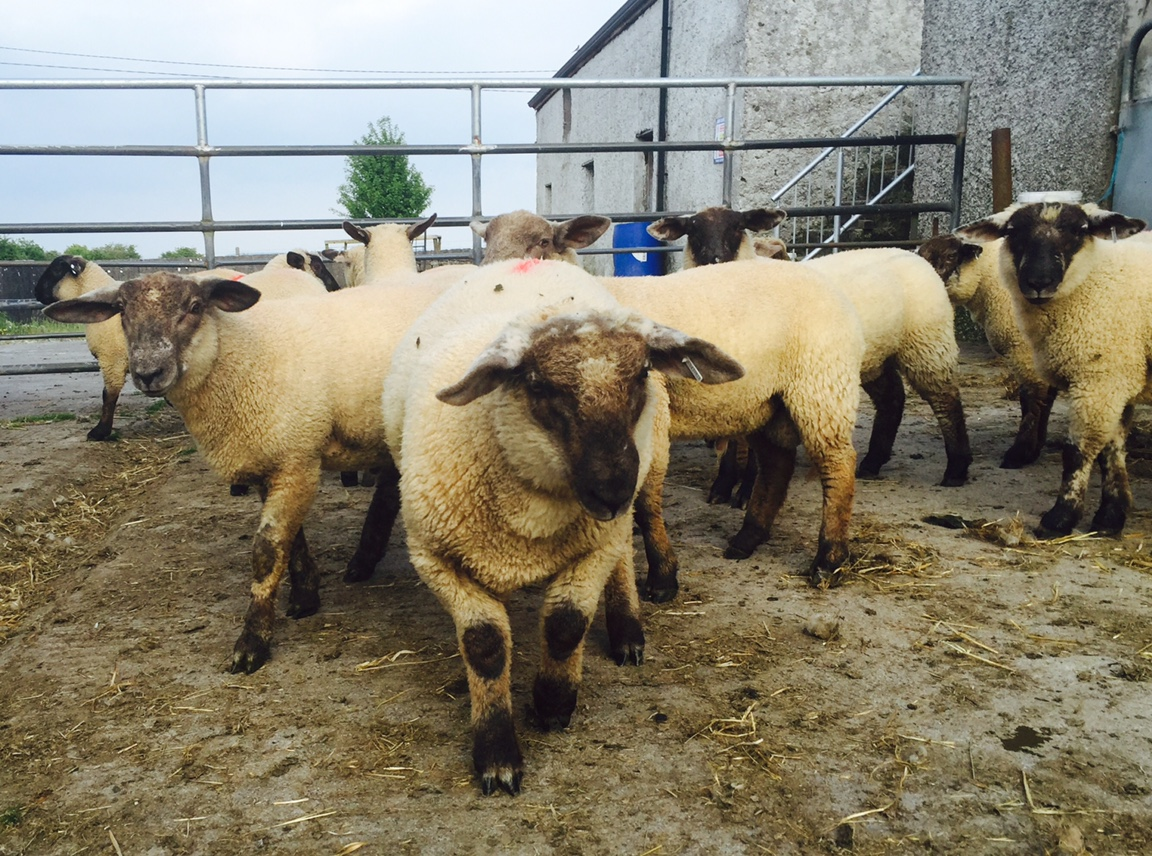 Cattle Marts & Sheep Marts In Ireland - Agriland