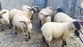 Sheep trade: 'Factories anxious for lambs and struggling to secure numbers'