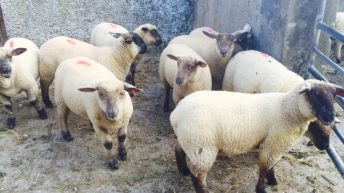 Northern Irish sheep an increased presence in southern plants