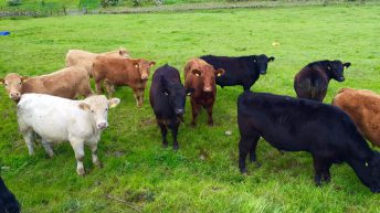 Farmers still unable to opt out of 'voluntary' levies when completing cattle tag order forms