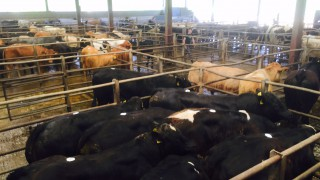 Cattle marts: Trade remains firm for quality stock