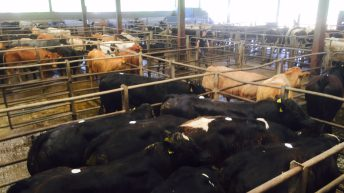 Bull attack leaves three people injured in Co. Clare mart