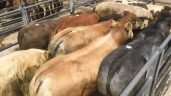 Mart trade: Poor weather has dampened farmers' appetite for 'grass' cattle