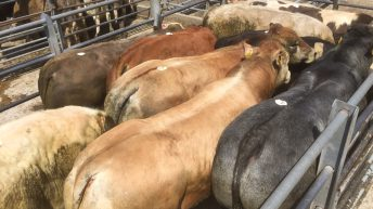 Mart trade: Large numbers and strong demand for store cattle