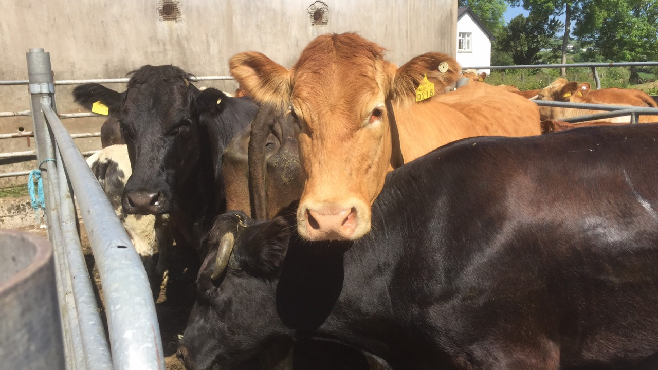 Farmers challenged to improve livestock handling systems