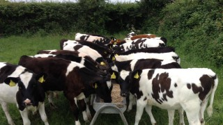 '4 areas where farmers shouldn't try and save money on bought-in calves'