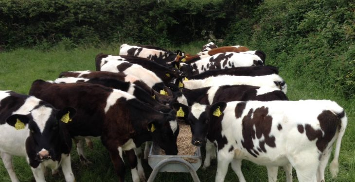 Weaning accelerated by two weeks in calves fed Shine Once-a-Day