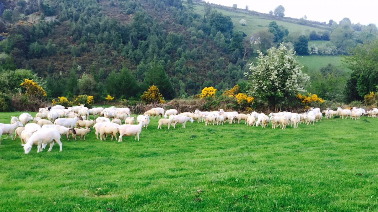 If dairy farmers can manage grass in autumn, why can't sheep farmers?