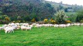 Specifications for light lamb market revealed
