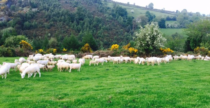 Over 2,000 applications submitted to Sheep Welfare Scheme to date
