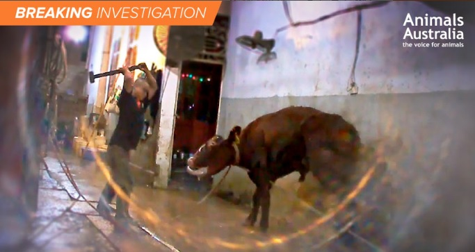 Anger in Australia as exported cattle sledgehammered to death in Vietnam