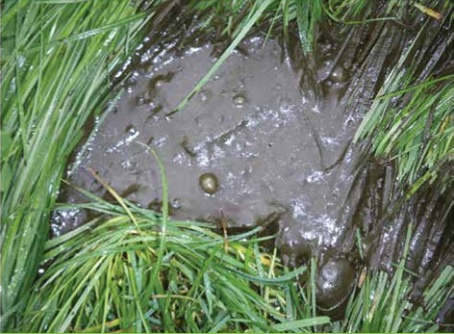 Gas bubbles and loose dung, indicative of excess lactic acid production in the rumen