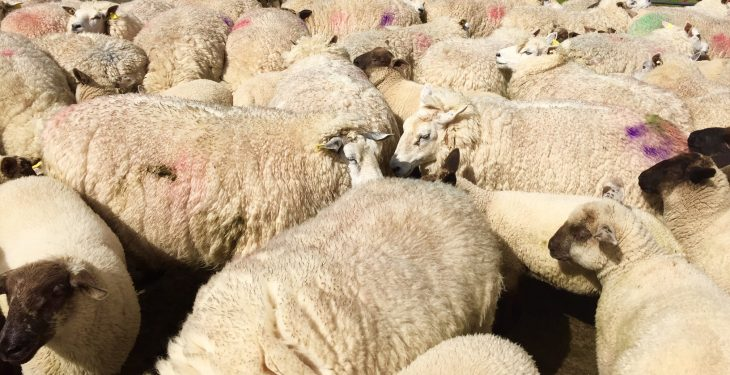 Calls to extend the deadline for applications to the Sheep Welfare Scheme