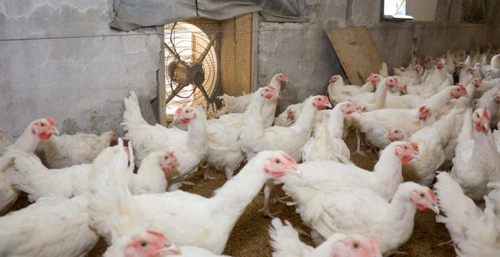 Small producers rearing turkeys or geese for Christmas must register