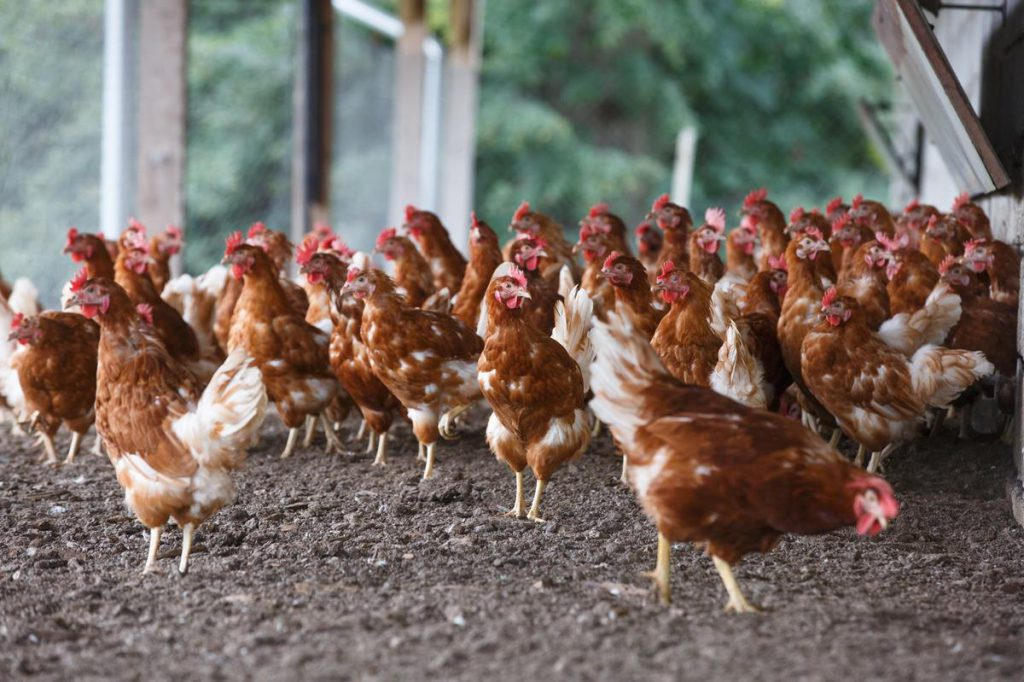 Non-notifiable avian influenza discovered in Monaghan flock