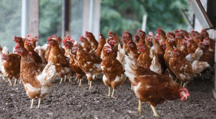 Compulsory housing order for poultry in Ireland extended