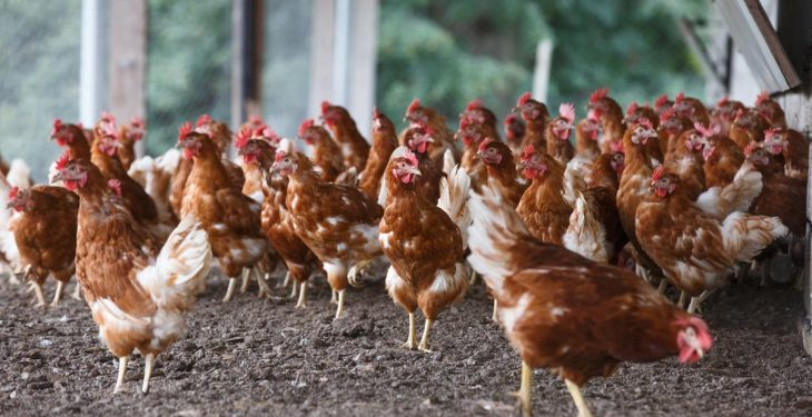 Housed free-range period extended as bird flu warnings continue