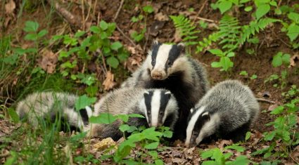 Badger vaccination programme in the pipeline 'to reduce TB incidence in cattle'