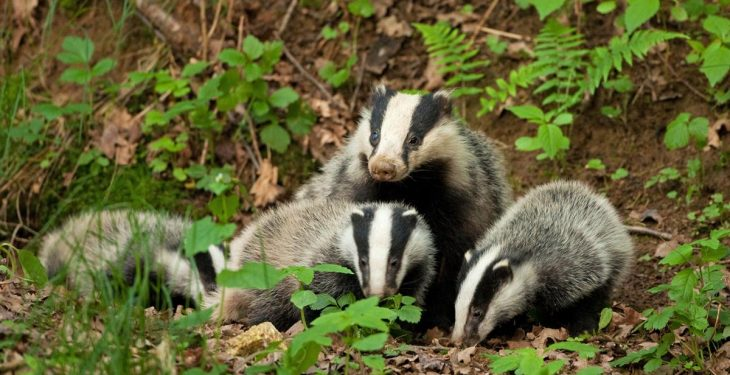 TB is not spread from badgers to cattle through direct contact – Study