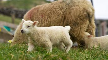 Factories plan to increase national lamb kill by 1 million head per year