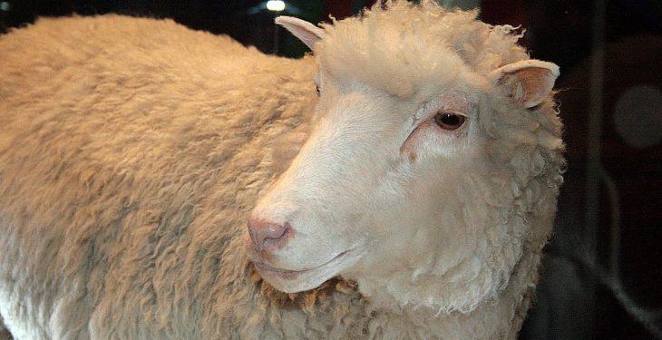 Clones of Dolly the sheep reach their ninth birthdays