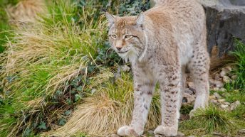Lynx could soon be re-introduced to parts of the UK to the dismay of farmers