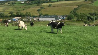 Breeding an 'invisible dairy cow' to make the most of grass on a heavy farm