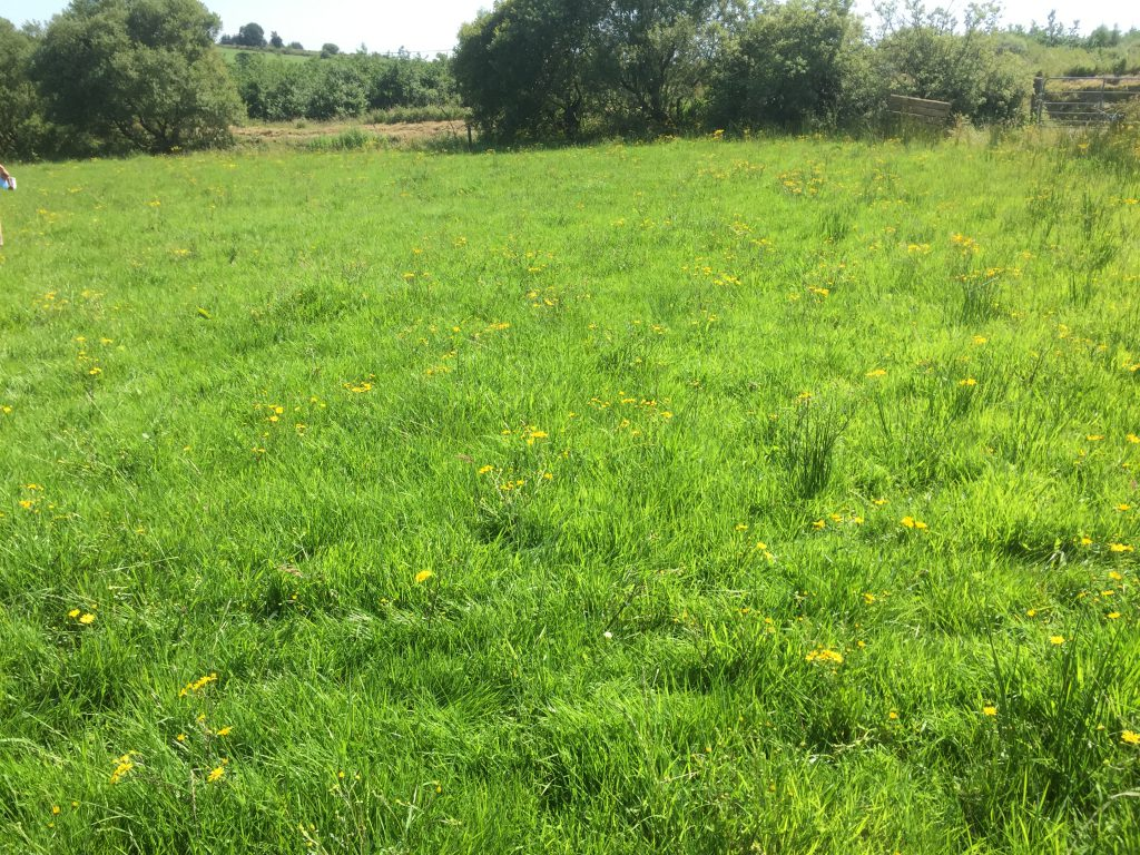 A neighbouring undrained paddock on O'Riordan's farm