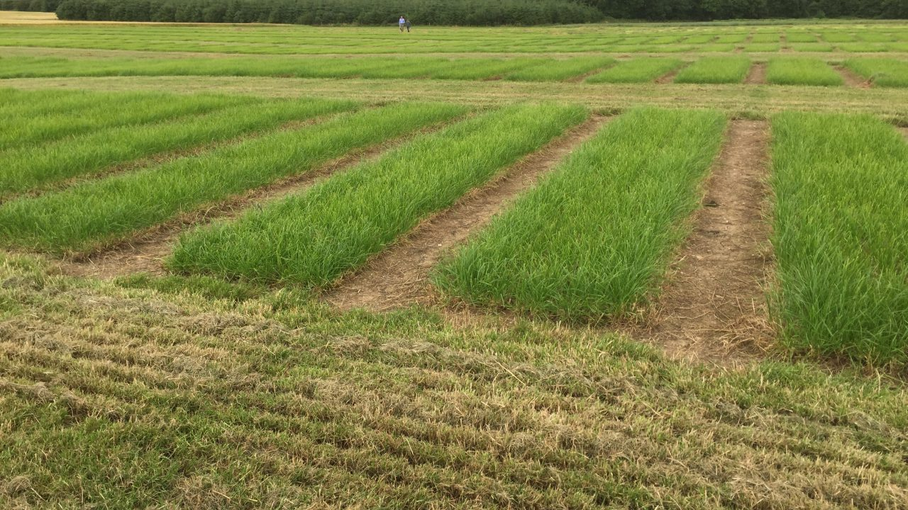 Four new perennial ryegrass varieties coming to farmers