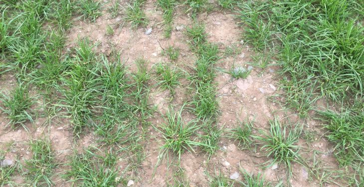 Video: Should more farmers over sow grass seed to maintain sward quality?