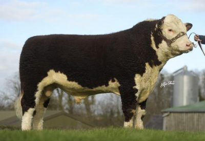 Hereford bull, 'Handsome', was second on the list of top beef AI bulls used on dairy herds.