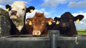 BSE: New statuses to be applied to Northern cattle on Monday