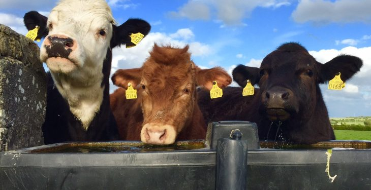 6 steps to successful organic beef production