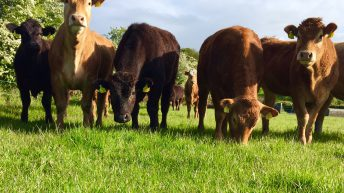 Irish heifer prices fifth highest in the EU