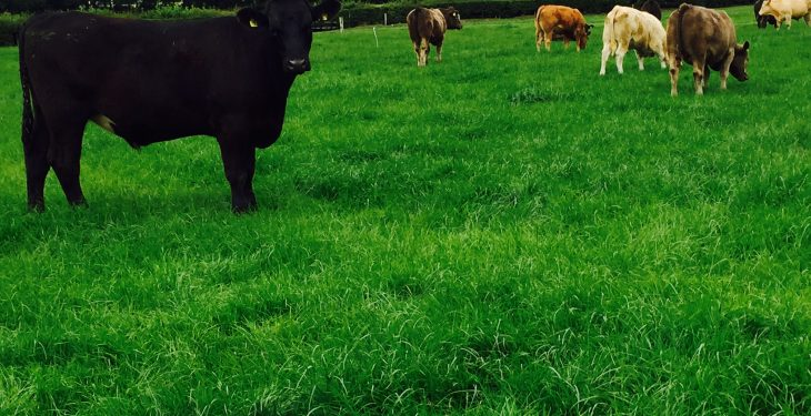 Does it pay to feed store cattle meal at grass prior to finishing?