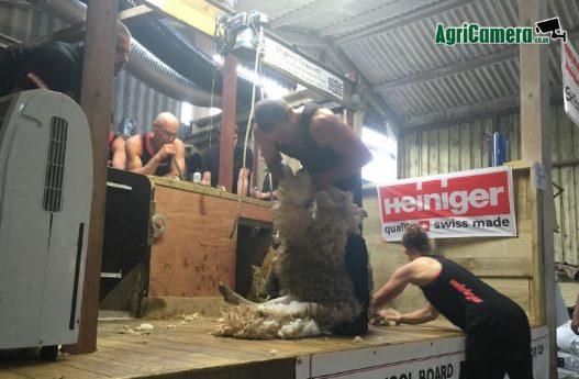 New Zealander sets new sheep shearing world record