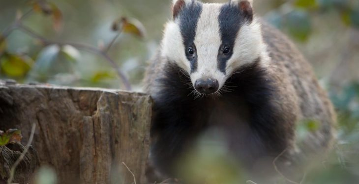 Trinity badger research could 'minimise spread of TB'