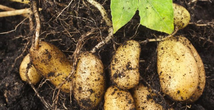 Tastiest potatoes from Dublin due to hit supermarket shelves this week!