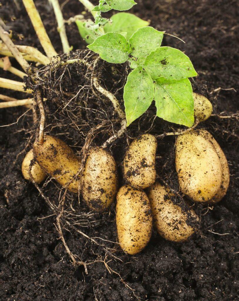 Tastiest potatoes from Dublin due to hit supermarket ...