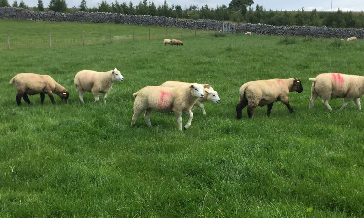 Some ease in spring lamb prices on the back of lower fifth quarter prices