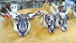 Over 2,000 sheep up for sale at this year's Borris Ewe show and sale