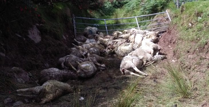 26 lambs and 14 ewes killed in dog attack in Kerry