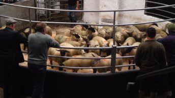 Sheep marts: Store lambs remain steady but hogget ewe buyers remain scarce
