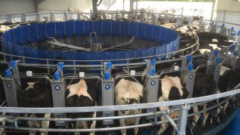 Moving from 75 to 400 dairy cows to generate income for two families